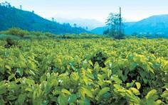 サントリーの極の青汁には野菜ポリフェノールの一種であるケルセチンが配合されています