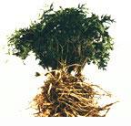希少成分である日本山人参を配合の「根菜青汁」